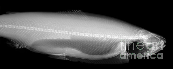X-ray Of A Trout Print by Ted Kinsman