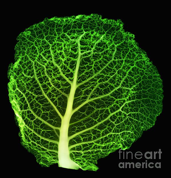 X-ray Of Cabbage Leaf Print by Ted Kinsman