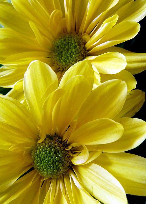 Patricia Strand - Yellow Daisy Duet