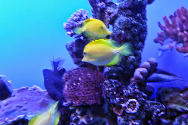 Yellow Fish With Purple Coral Print by Linda Phelps