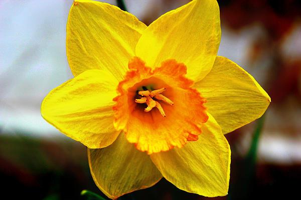 Yellow Flower Print by Melissa Richter