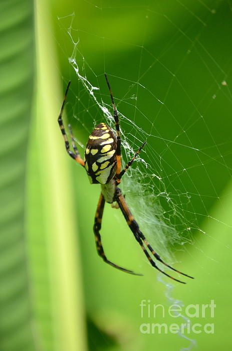 Kathy Gibbons - Yellow Garden Spider