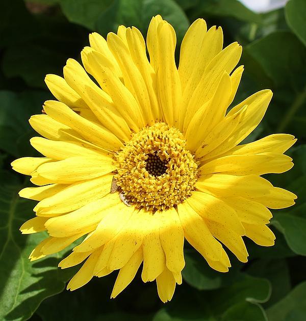 Bruce Bley - Yellow Gerber Daisy