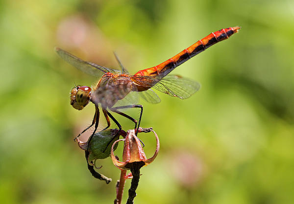 Yellow-legged Meadowhawk  Print by Juergen Roth