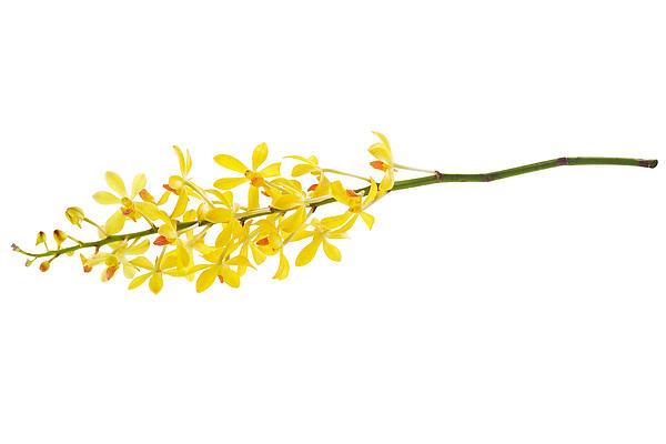Yellow Orchid Bunch Print by Atiketta Sangasaeng