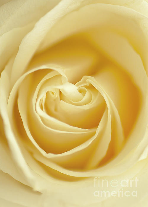 Maria Aiello - Yellow Rose