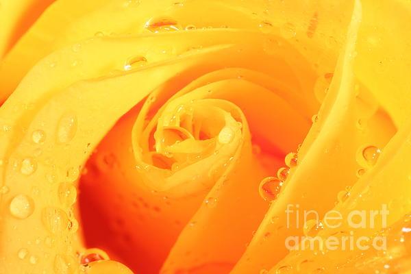 Yellow Rose Print by Nicola Gordon