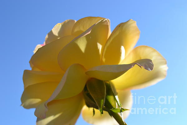 Saifon Anaya - Yellow Rose