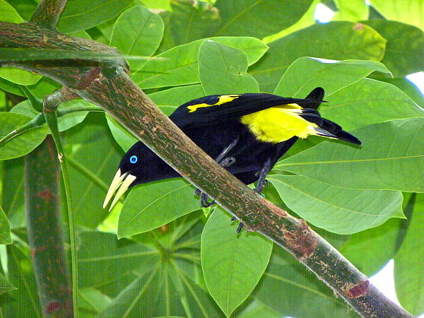 Eve Spring - Yellow Rumped Cacique