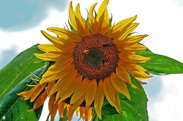 Yellow Sunflower Print by Susan Leggett