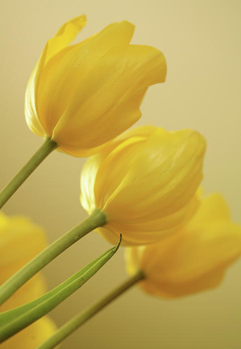 Yellow Tulip Trio Print by Bonnie Bruno