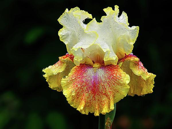 Yellow White And Burgundy Iris Print by Grant Groberg