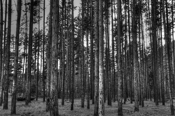 Yellowstone Trees Bw Print by Bruce Friedman