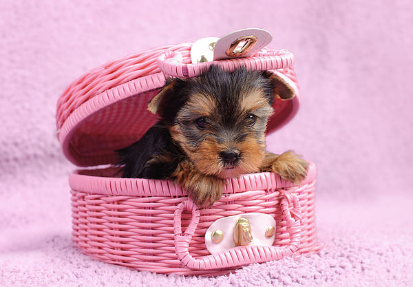 Waldek Dabrowski - Yorkshire terrier puppy