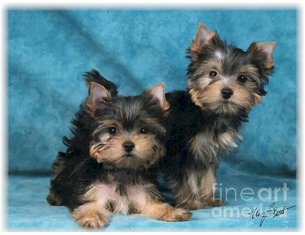 Yorkshire Terrier Pups 3 Print by Maxine Bochnia