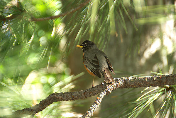 Lynn Bauer - Yosemite Robin
