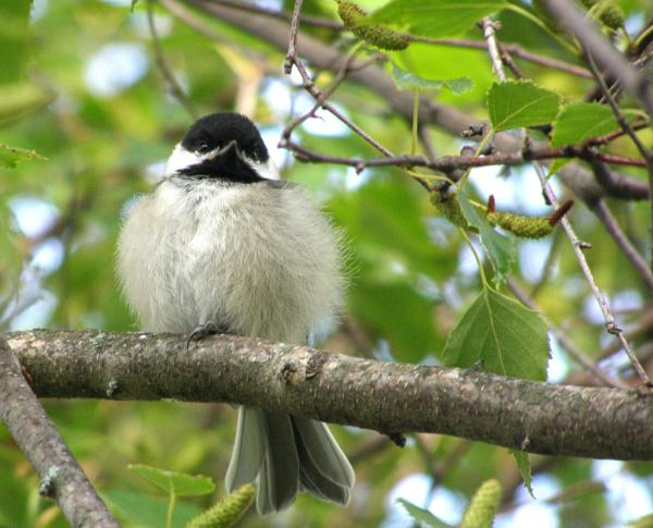 Young Black-capped Chickadee Print by Angie Rea