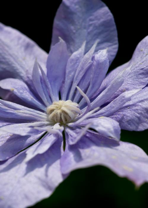 Young Blue Light Clematis Print by Edward Myers