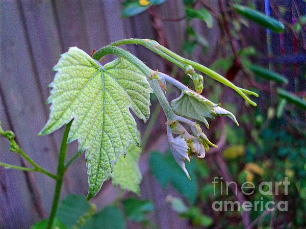 Young Grape Leaves Print by Padre Art