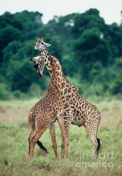 Young Male Giraffes Necking Print by Greg Dimijian