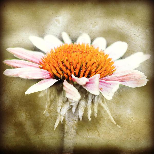 Julie Hamilton - Young petals