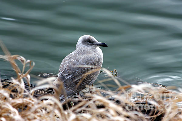 Young Seagull Print by Nick Gustafson