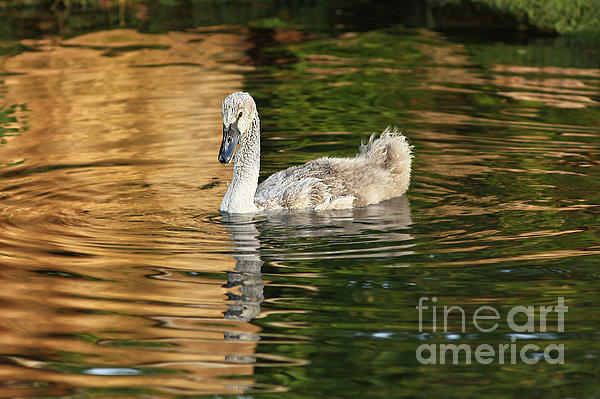 Inspired Nature Photography By Shelley Myke - Young Swan Basking in a Golden Sunset