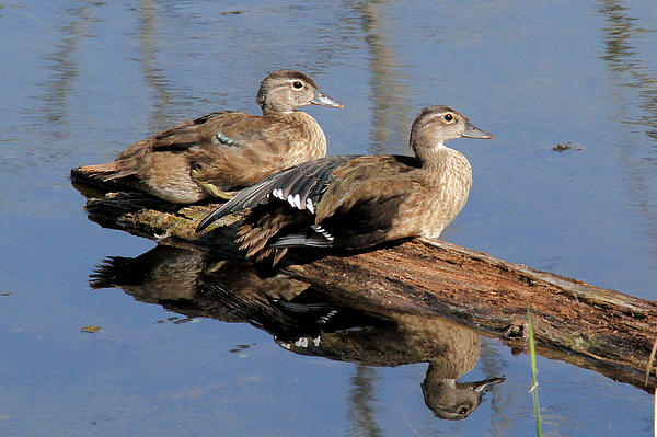 Doris Potter - Young Wood Ducks
