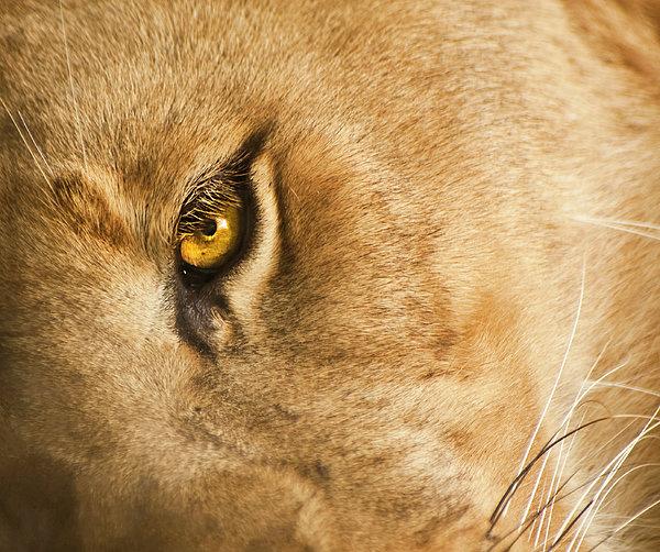 Your Lion Eye Print by Carolyn Marshall