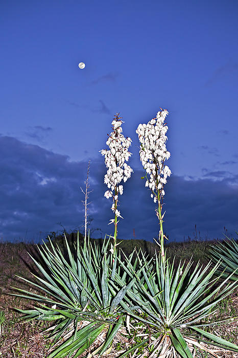 Yucca And The Moon Print by Richard Roselli