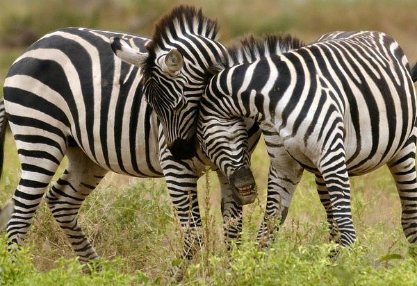 Zebra Hug Print By Jack Daulton