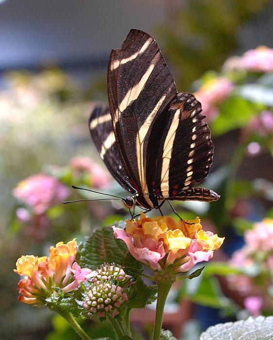 Zebra Longwing Butterfly Print by Diane Giurco