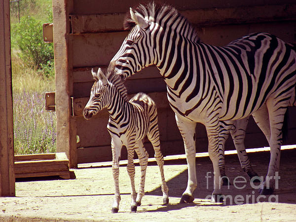 Methune Hively - Zebra Mom and Baby