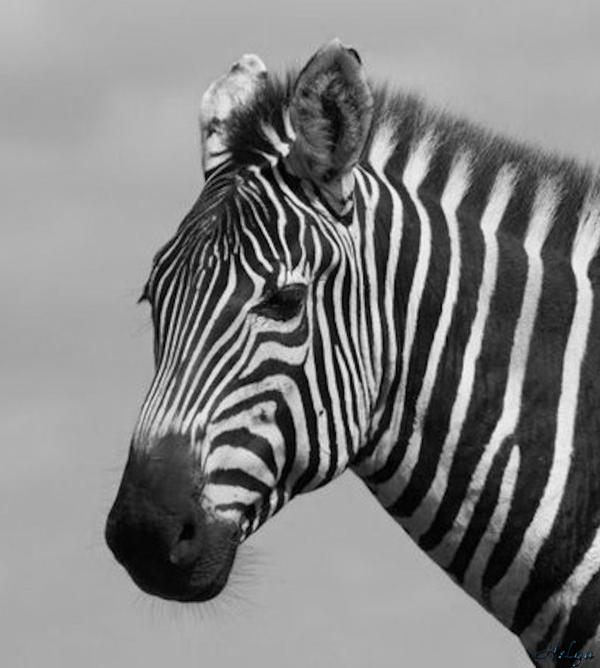Helga Oliveira - Zebra Stripes