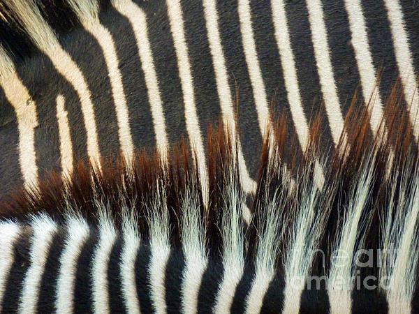Zebra Stripes Print by Methune Hively