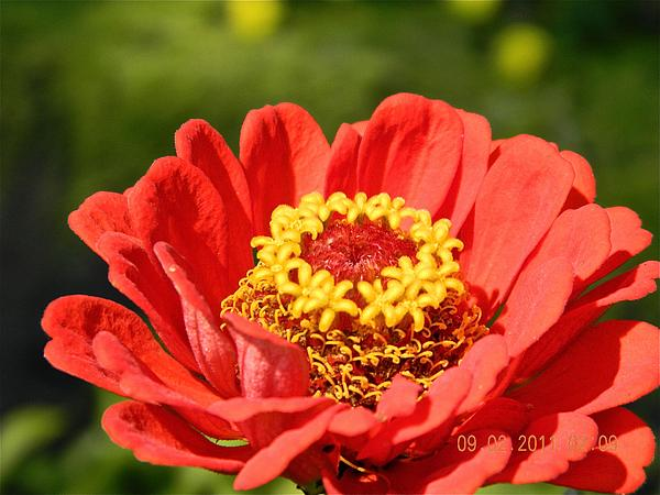 Randy Rosenberger - Zinnia Perfection
