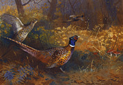Forest Bird Paintings -  A Cock and Hen Pheasant at the Edge of a Wood by Archibald Thorburn