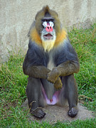 Jim Fitzpatrick Prints -  A Mandrill Whos Not Very Shy About His Privacy Print by Jim Fitzpatrick