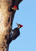 Pileated Woodpeckers Framed Prints -  A Nice Pair Framed Print by Billy  Griffis Jr