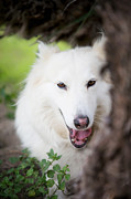 Peaking Prints -  Adult White Wolf Print by Erika Weber
