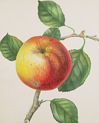 Food And Beverage Paintings -  An Apple by Elizabeth Jane Hill