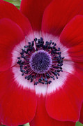 Tim Prints -  Anemone Coronaria Harmony Scarlet Flower Print by Tim Gainey