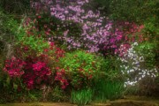 JHR  Photo ART -  Azaleas in bloom