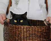 Hiding Prints -  Basket Cat Print by Renee Forth Fukumoto