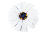 White Daisies Photos -  Beautiful White Flower in High Key by Jose Elias - Sofia Pereira