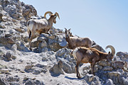 Linda Dunn Posters -  Big Horn Sheep Poster by Linda Dunn