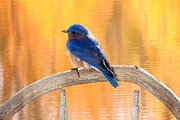 Randall Branham Acrylic Prints -  Bluebird On My Chair Acrylic Print by Randall Branham