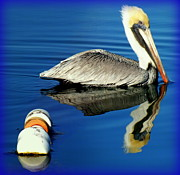 Flocks Metal Prints -  Blues Pelican Metal Print by Karen Wiles