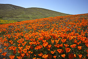 Susan Rovira -  California Poppy Fi...