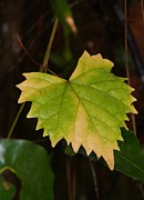 Grape Leaf Framed Prints -  Changes of the Wild Grape Leaf Framed Print by Warren Thompson